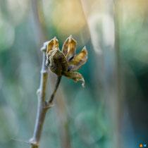 Fleur séchée d'un altéa