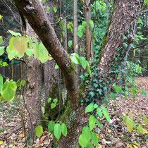 Arboretum des Barres - Davidia invulucrata