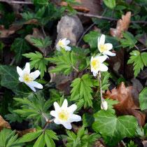 Anemone des bois (Anémone nemerosa)  - Crédit photo : promesse de fleurs