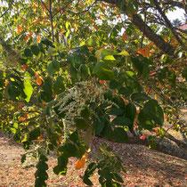 Arboretum des Barres - Rhus chinensis