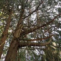 Arboretum des Barres - Réitération de Thuya