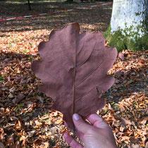 Arboretum des Barres - Quercus dentata