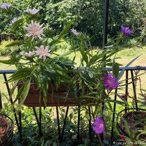 Eté 2019 : muscaris en graines et début de floraison des stokesias