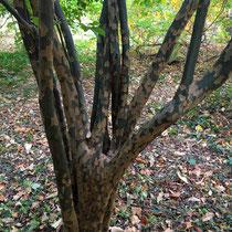 Arboretum des Barres - Pseudocydonia sinensis