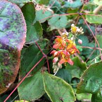 A l'ombre ou mi-ombre : la fleur des elfes (epimedium)