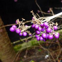 Callicarpa - Arbuste aux bonbons - Mais attention ! Ils ne sont pas commestibles