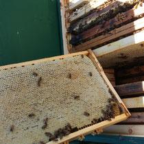 Aus solch verdeckelten Honigwaben erntet der Imker reifen, qualitativ hochwertigen Honig