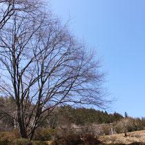 多目的グラウンドの桜