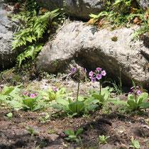 小川の淵にはクリンソウが花をつけました!