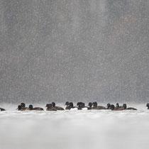 Reiherenten im Schneetreiben