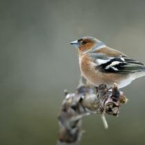 Buchfink, Foto: John Fotheringham, pixabay
