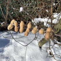 Erdnussschaukel, Foto: schlaubatz