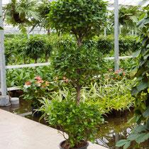 Ficus Moclame 3 Etagen