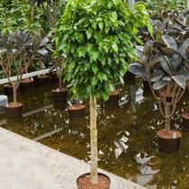 Ficus Columnar Stamm