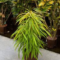 Ficus Green Gold