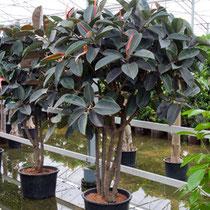 Ficus elastica Abidjan Multistamm verzweigt