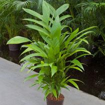 Areca (Chrysalidocarpus) triandra