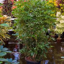 Schefflera arboricola verzweigt