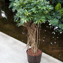 Schefflera Gold Capella Stamm extra