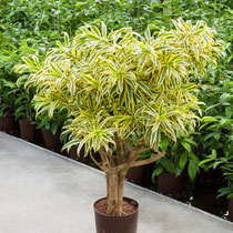 Dracaena reflexa Song of India verzweigt