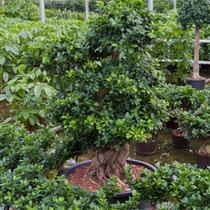 Ficus microcarpa compacta Bonsai