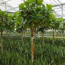 Ficus lyrata Stamm