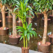 Dracaena Hawai 60 30 15cm