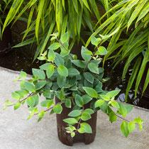 Aeschananthus lobbianus variegatus