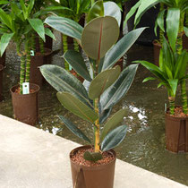 Ficus elastica Abidjan 1pp