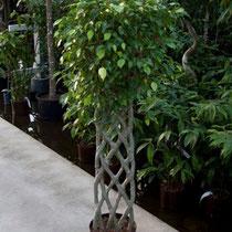 Ficus benjamina Band geflochten