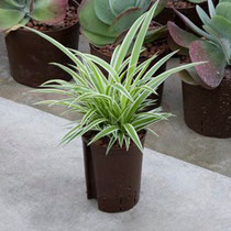 Chlorophytum comosum Ocean
