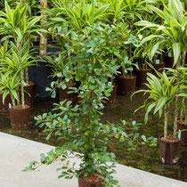 Ficus lingua