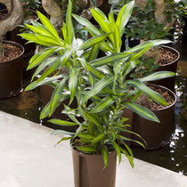 Dracaena reflexa Song of Jamaica 2pp