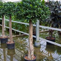 Ficus microcarpa compacta Stamm