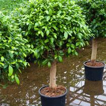 Ficus nidita Stamm