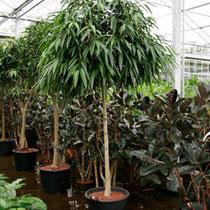 Ficus Allii Stamm