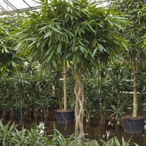 Ficus Amstel King Stamm