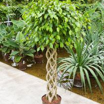 Ficus benjamina Säule gelochten