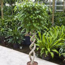Ficus 2 Stamm gedreht