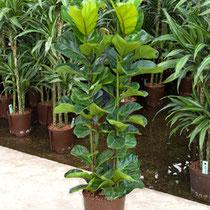 Ficus Bambino