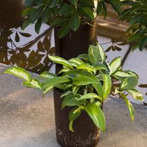 Hoya carnosa bunt