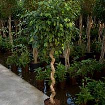 Ficus benjamina Stamm gedreht