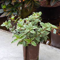 Ardisia variegata