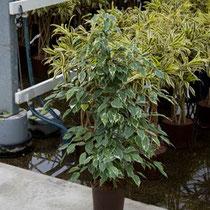 Ficus Golden King