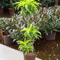 Dracaena Lemone Surprise 60 30 15cm