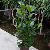 Clusioa rosea