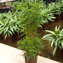 Schefflera louisiana Busch