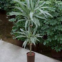 Dracaena deremensis 60 30cm