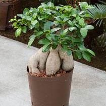 Ficus gineng
