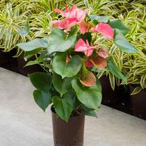 Anthurium Arcade Rosa